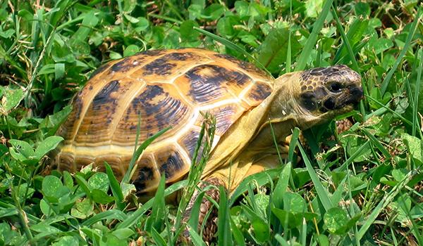 Фото: Сухопутная черепаха в природе