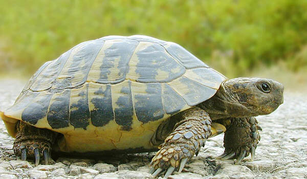 Фото: Среднеазиатская сухопутная черепаха
