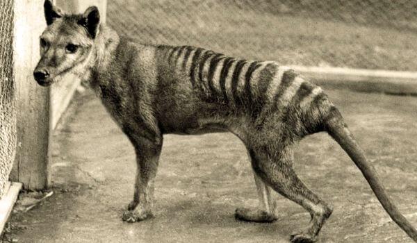 Фото: Сумчатый, или тасманийский волк