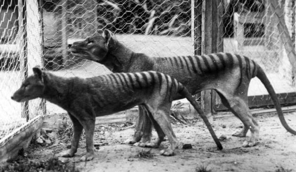 Фото: Последние сумчатые волки