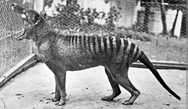 Фото: Австралийский сумчатый волк
