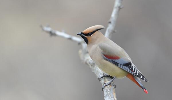 Фото: Птица свиристель