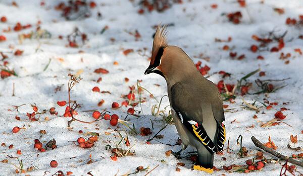 Фото: Свиристель зимой