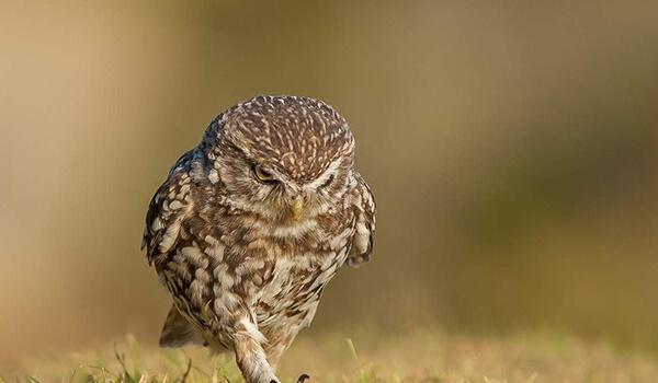Фото: Птица сыч
