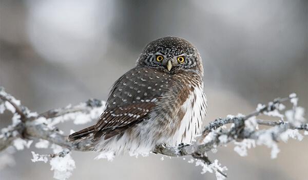 Фото: Сыч зимой