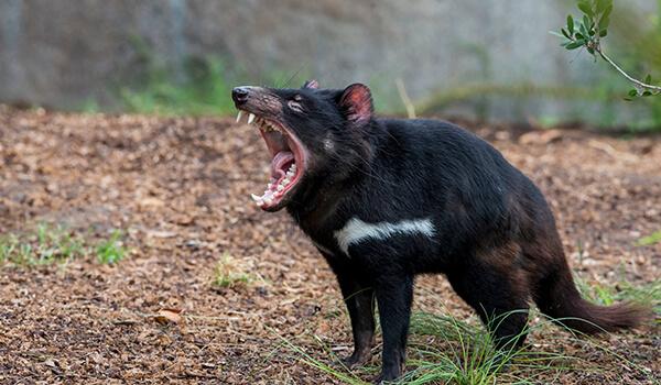 Фото: Тасманский дьявол в природе