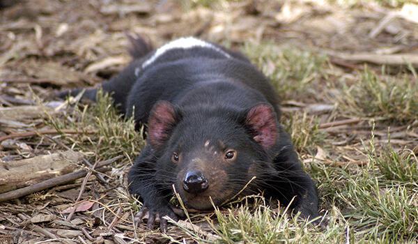 Фото: Тасманский дьявол в Австралии