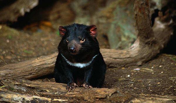 Фото: Животное тасманский дьявол