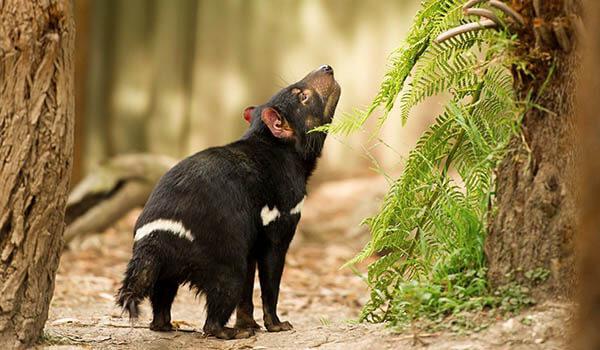 Фото: Тасманский дьявол