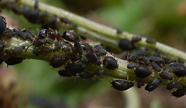 Фото: Тля на листьях