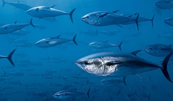 Фото: Тунцы под водой