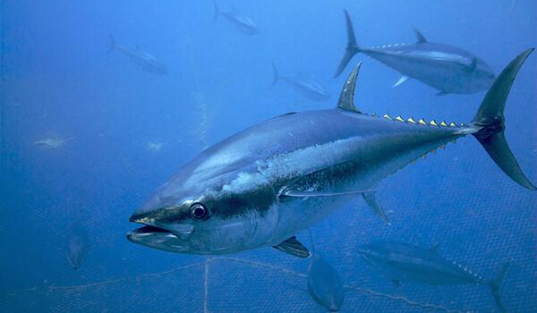 Фото: Рыба тунец
