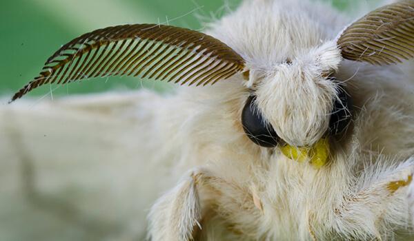 Фото: Тутовый шелкопряд
