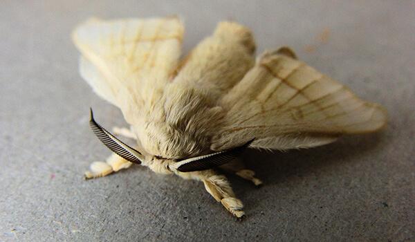 Фото: Бабочка тутовый шелкопряд