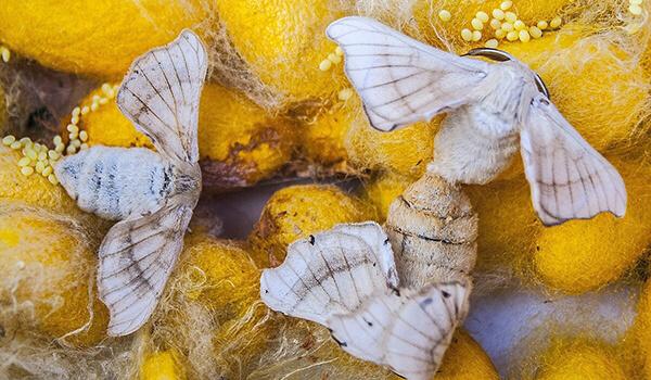 Фото: Бабочки тутовый шелкопряд