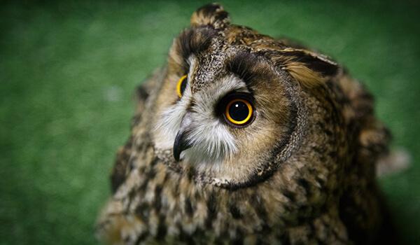 Фото: Ушастая сова в России