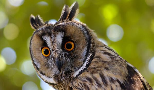 Фото: Ушастая сова в природе