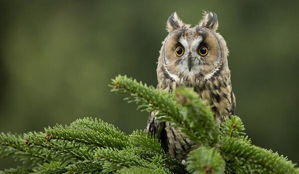 Фото: Ушастая сова в Подмосковье