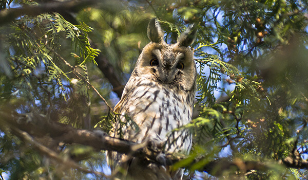 Фото: Ушастая сова