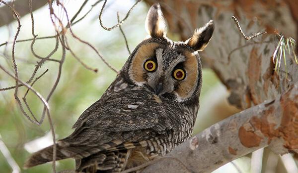 Фото: Птица ушастая сова