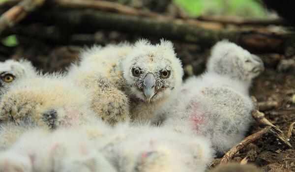 Фото: Птенцы ушастой совы