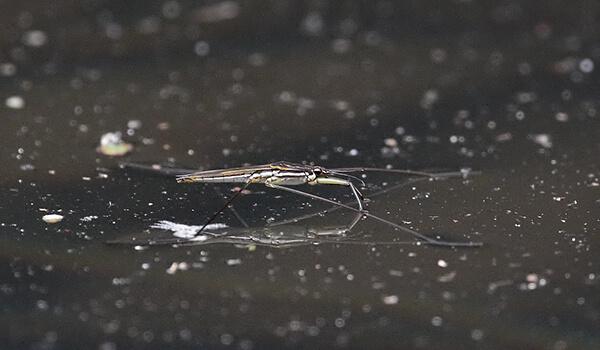 Фото: Большая водомерка