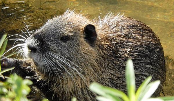 Фото: Водяная крыса полевка