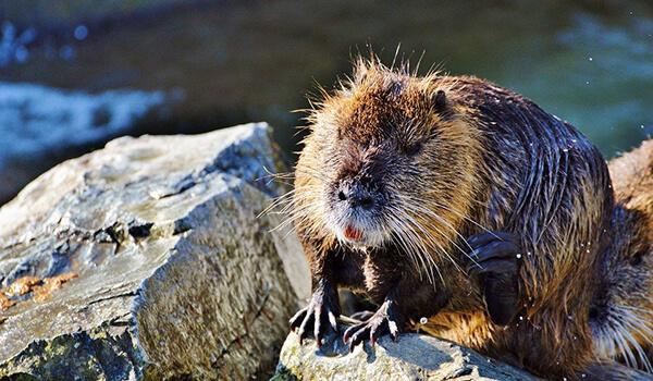 Фото: Водяная крыса в России