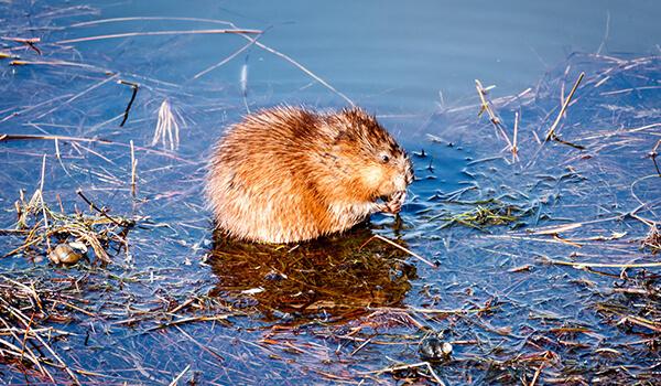 Фото: Как выглядит водяная крыса