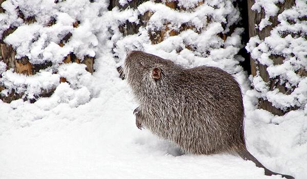 Фото: Водяная крыса зимой