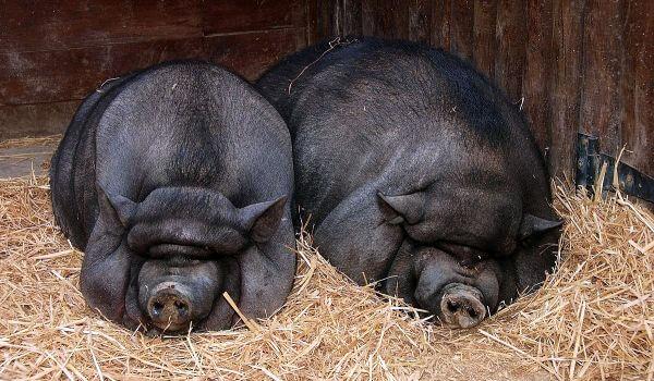 Фото: Беременная вьетнамская свинья