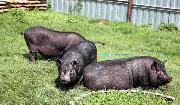 Фото: Вьетнамские свиньи