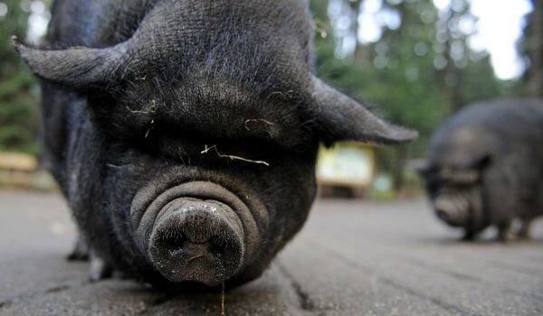 Фото: Вьетнамская вислобрюхая свинья