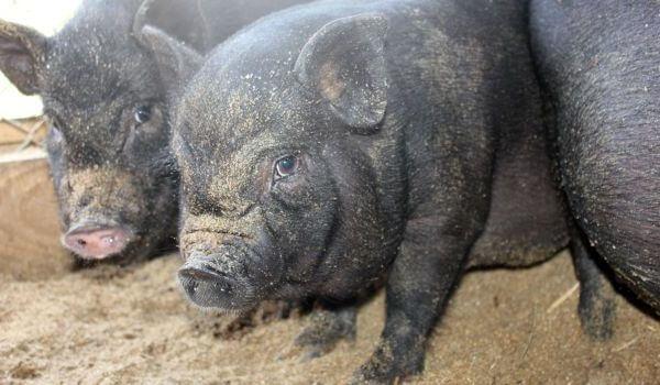 Фото: Поросенок вьетнамской свиньи