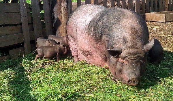 Фото: Поросята вьетнамской свиньи