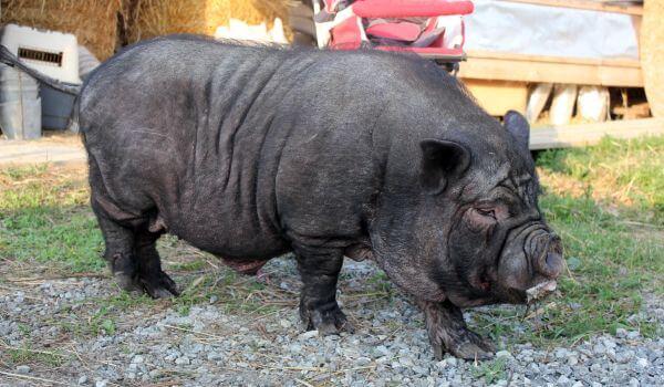 Фото: Вьетнамская свинья