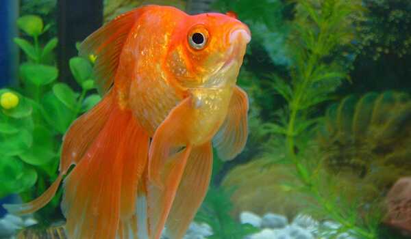 Фото: Золотая рыбка вуалехвост