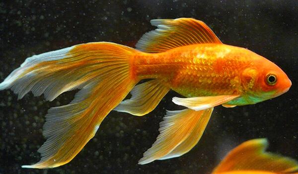 Фото: Рыбка вуалехвост