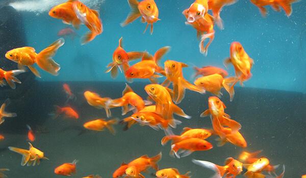 Фото: Вуалехвостые рыбки