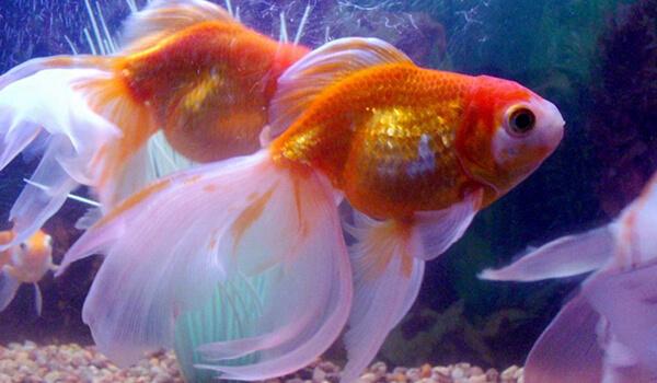 Фото: Аквариумная рыбка вуалехвост