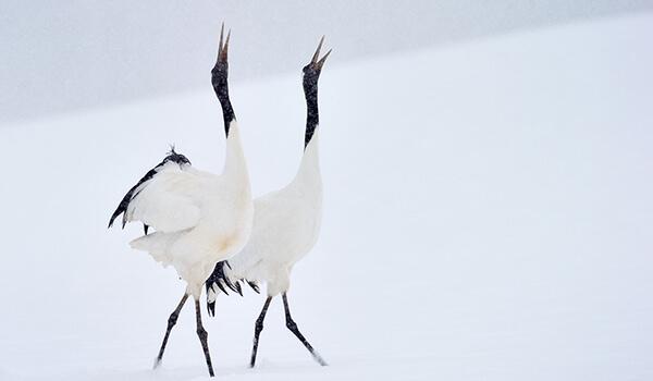 Фото: Танец японских журавлей