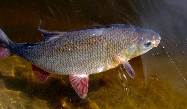 Фото: Рыба язь в реке