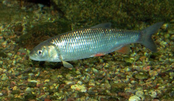 Фото: Рыба язь