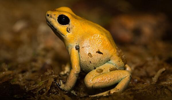Фото: Лягушка ужасный листолаз