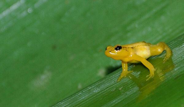 Фото: Ужасный листолаз в тропиках