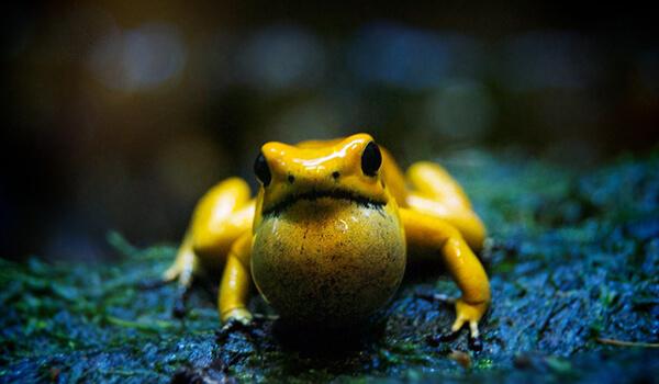 Фото: Ядовитый ужасный листолаз