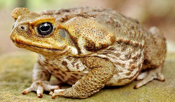 Фото: Ядовитая жаба ага