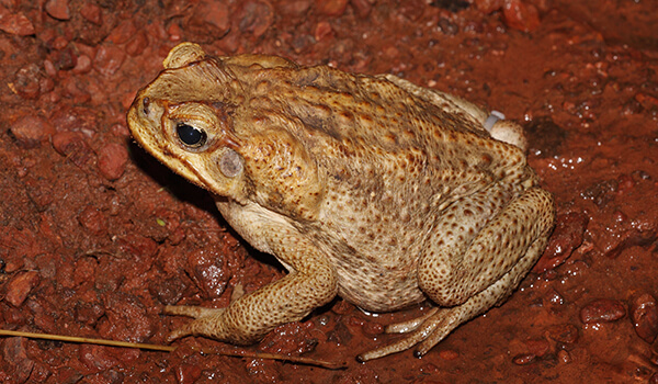 Фото: Опасная жаба ага