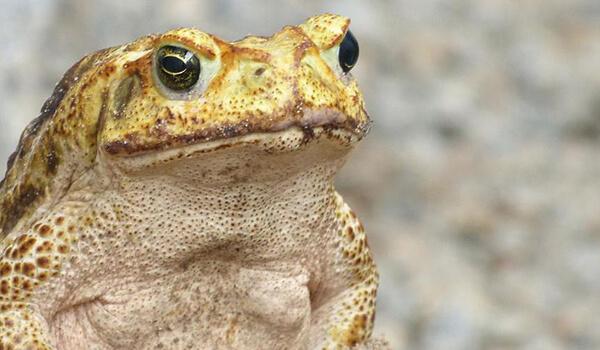 Фото: Жаба ага в природе