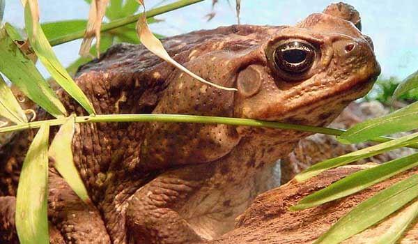 Фото: Большая жаба ага